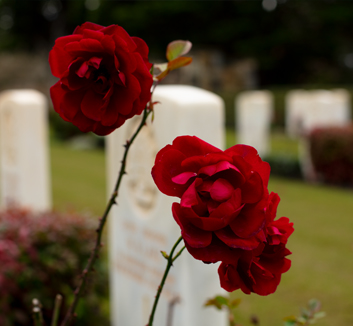 A colour photograph of Roses. The background is blurred but rows of white marble graves can be seen.